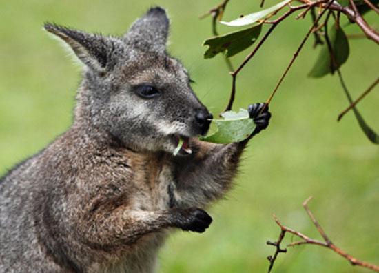 Tại sao Wallaby không thải khí Methane?