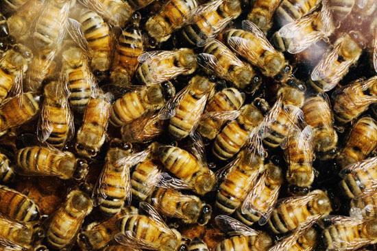 Dường như các enzym giúp những con ong mật hóa giải chất độc pyrethrins trong tự nhiên