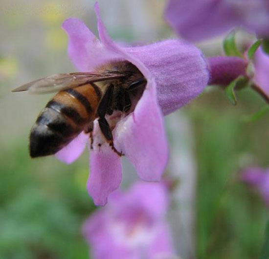 Khả năng hóa giải độc tính thuốc trừ sâu của ong mật