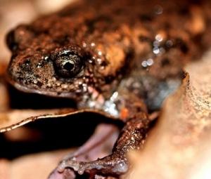 Phát hiện loài ếch mà khoa học chưa từng biết