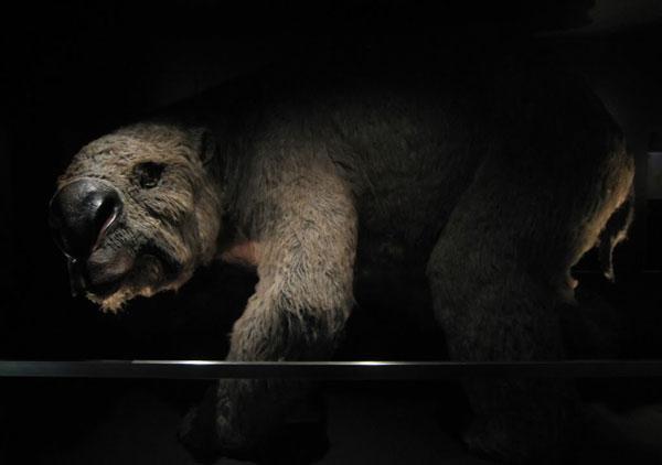 Phát hiện nghĩa địa loài gấu túi tuyệt chủng