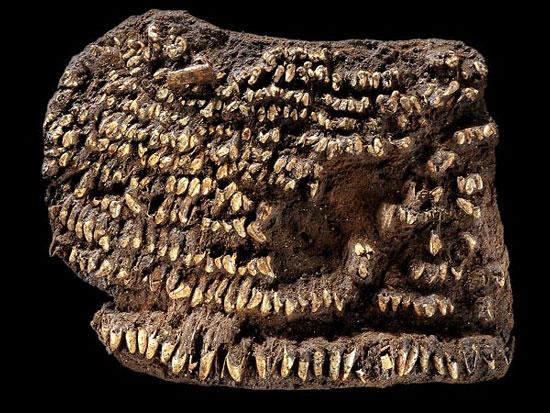 Chiếc ví kỳ lạ được làm từ hơn 100 chiếc răng chó thuộc thời kỳ đồ đá.