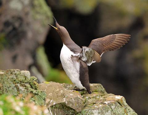 Con chim giang đôi cánh cất tiếng kêu ở ngoài khơi đảo Skomer, phía tây xứ Wales