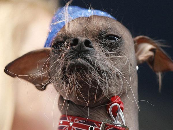Nguồn gốc của loài chó xấu nhất thế giới