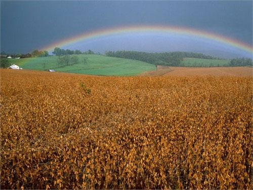 Hình ảnh cầu vồng xuất hiện sau những cơn bão phía trên các cánh đồng đậu tương ở Pennsylvania (Mỹ) đã trở nên quen thuộc với người dân nơi đây.