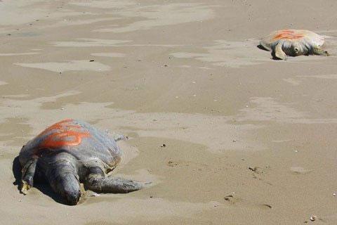 Các nhà khoa học đang lo lắng trước hiện tượng có hơn 70 con rùa xanh chết bí ẩn.