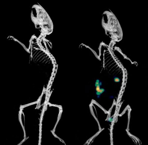 Cơ thể chuột trước khi bị nhiễm khuẩn (trái) và vào ngày 1, khi máy quét cho thấy rõ vi khuẩn Citrobacter rodentium ở ruột non.