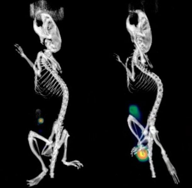 Ngày 4 (trái), vi khuẩn chỉ xuất hiện ở phần manh tràng của ruột, nhưng chúng được cho là đang điều chỉnh để thích nghi với cơ thể vật chủ. Đến ngày 6 (phải), vi khuẩn mở cuộc tấn công tổng lực và lan tới trực tràng.