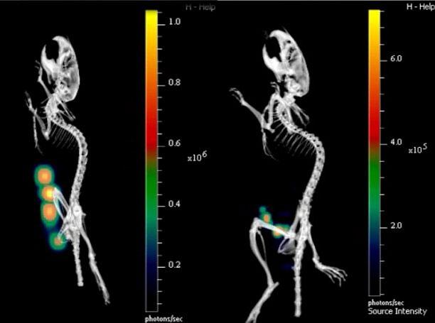 Vào ngày 8 (trái) toàn bộ ruột đã bị nhiễm khuẩn, nhưng đến ngày 9 (phải), hệ thống miễn dịch bắt đầu phản kích.