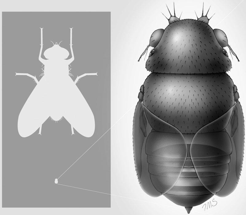 Ruồi Euryplatea nanaknihali sống ký sinh trên cơ thể một loài kiến.