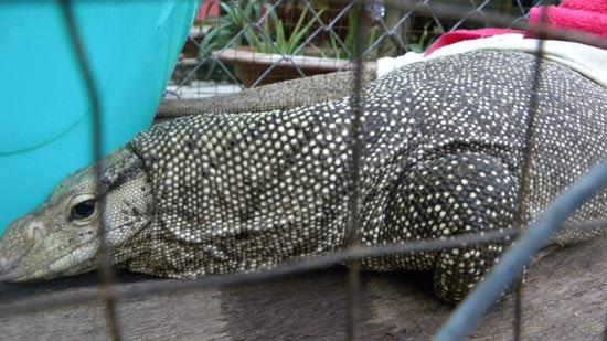 Loài bò sát kỳ lạ tại chùa Hưng Mỹ Tự là kỳ đà vân