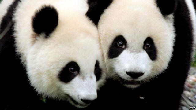 Gấu trúc khổng lồ sinh con trong vườn thú Tokyo