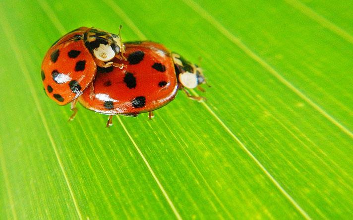 """Hai con bọ rùa đang mải mê làm """"chuyện ấy"""". Bọ rùa cái có thể giao phối tới 20 bạn tình và đẻ hơn 2.000 trứng."""