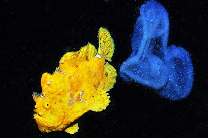 Hình ảnh hiếm hoi của loài cá cóc khổng lồ và bọc trứng của nó.