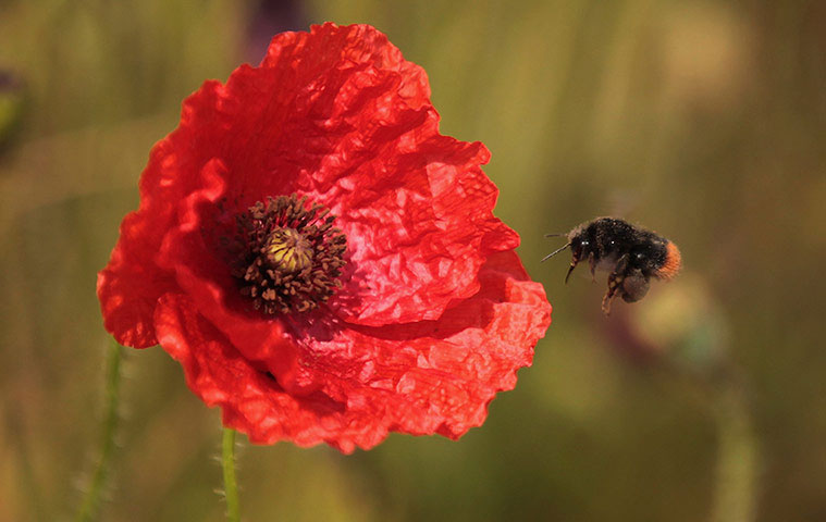 Một chú ong bị hấp dẫn bởi những bông hoa anh túc đang nở rộ tại Wiltshire (Anh).