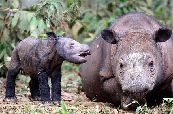Hai mẹ con tê giác tại công viên quốc gia Way Kambas (Indonesia).