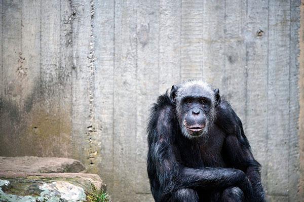 Một con tinh tinh ngồi cạnh bức tường bê-tông trơ trọi tại vườn thú Hanover (Đức). Cơ sở vật chất ở đây rất nghèo nàn.
