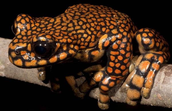 Cận cảnh loài ếch hiếm Hyloscirtus princecharlesi.