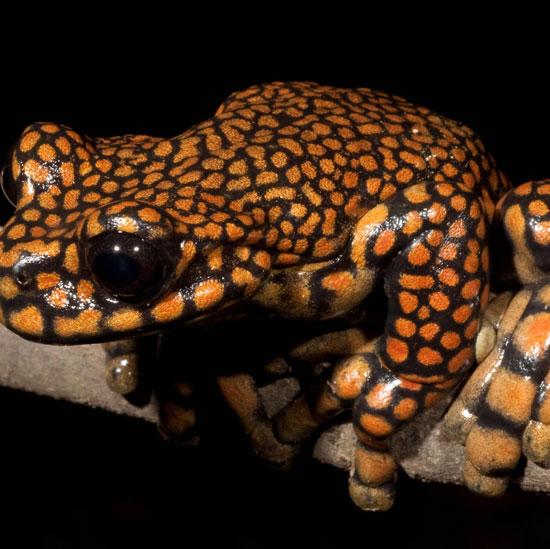 Cận cảnh loài ếch được đặt theo tên Thái tử Anh