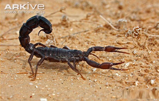 Thân bọ cạp chia làm hai phần: phần đầu ngực (đốt thân trước) và phần bụng (vùng thân sau)