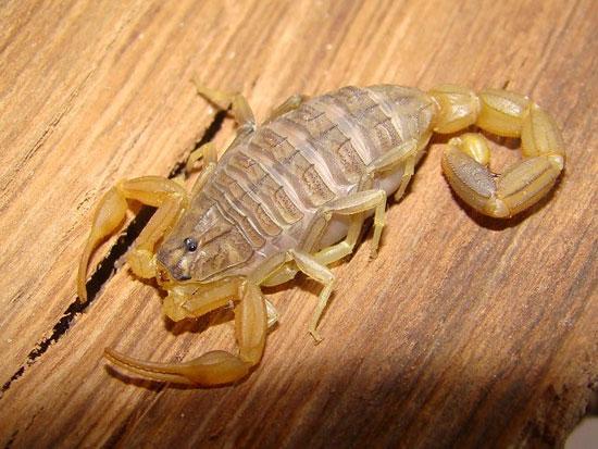 Bọ cạp là loài tiêu thụ thức ăn dạng chất lỏng