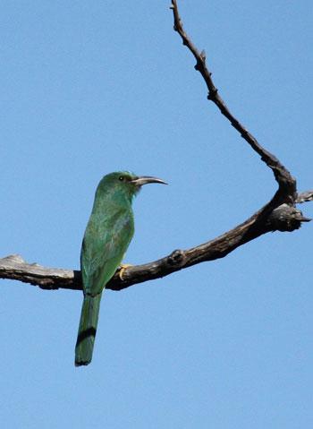 Chim Xanh (Chloropseidae). Chúng là một trong ba họ chim đặc hữu của vùng sinh thái Indomalaya. Các loài chim này có hình dáng giống như chào mào (Pycnonotidae), sinh sống trong các khu rừng. Mặc dù nhóm này có xu hướng màu nâu xám, chúng có dị hình lưỡng tính, với chim trống có bộ lông màu xanh lục và vàng.  Các loài Chim Xanh thường ăn quả, mật ong và đôi khi ăn cả sâu bọ. Chúng có lưỡi nhọn, thích hợp với việc ăn mật. Chúng đẻ 2-3 trứng trong tổ trên cây.