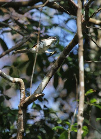 Chim Họa mi Langbiang (Crocias langbianis) - một trong những loài đặc hữu của Việt Nam. Hoạ mi Langbiang hay còn được gọi là Mi núi Bà là loài chim quý hiếm thuộc bộ Sẻ, họ Khướu. Loài chim này chỉ có thể được tìm thấy ở độ cao trên 1.500m.
