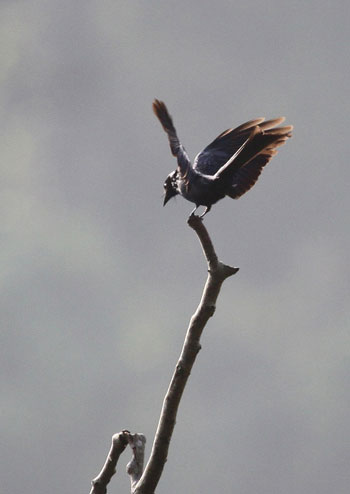 Chèo bẻo xám (Dicrurus leucophaeus baker). Ở Việt Nam chèo bẻo xám làm tổ ở các vùng rừng núi thuộc các tỉnh ở bắc bộ, nhưng số lượng không nhiều, mùa đông chúng di cư xuống phía nam.  Chèo bẻo xám có đặc điểm: mặt lưng xám tro xám có ánh thép xanh, mặt bụng xám tro hơi nhạt hơn, có ánh thép rất mờ, cánh và đuôi xám có ánh tím và lục, phần bị che khuất của lông cánh đen nhạt.