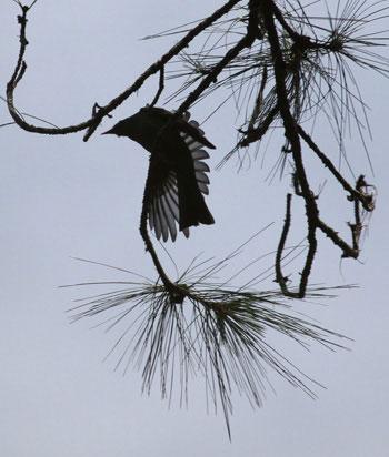 Chim Cành cạch đen (Hypsipetes leucocephalus Gmelin). Ở Việt Nam, về mùa đông phân loài này có ở các vùng núi rừng từ biên giới phía bắc cho đến đèo Hải Vân, Lâm Đồng (Bidoup Núi Bà).  Chim đực trưởng thành có đặc điểm đầu, cổ và phần trên ngực trắng. Toàn phần còn lại của bộ lông đen hay nhạt, thỉnh thoảng có vệt nâu. Dưới đuôi thỉnh thoảng có viền trắng. Chim cái có bộ lông như chim đực nhưng mặt bụng thường màu xám thẫm. Bộ lông của phân loài này có nhiều biến đổi, có thể gặp những cá thể mà đầu có ít nhiều lông đen.