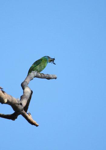 Chim Cu rốc đầu đỏ (Megalaima asiatica). Ở Việt Nam, loài này có ở hầu hết các vùng, những chỗ có nhiều cây cối rậm rạp và không cao quá 800m.