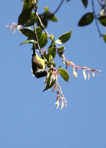 Chim hút mật (Nectariniidae). Thức ăn của phần lớn các loài hút mật là mật hoa, một số loài ăn cả sâu bọ khi nuôi chim non. Việt Nam đã bắt được các vật mẫu của loài chim hút mật ở Di Linh, Tây Ninh, Biên Hòa và Phú Quốc.