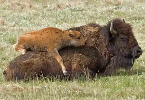 Bò rừng Bắc Mỹ con trèo lên lưng mẹ đề đòi bú trong công viên quốc gia Yellowstone của Mỹ.