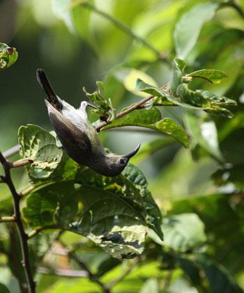 Chim hút mật họng hồng - Chim mái. Con mái có đặc điểm: mặt lưng lục vàng với các lông ở đỉnh đầu có vệt thẫm ở giữa lông; đuôi đen; cánh nâu hơi viền hung; lông đuôi giữa có viền trắng ở mút.