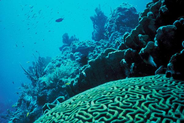 Diện tích san hô toàn cầu đang thu hẹp quá nhanh