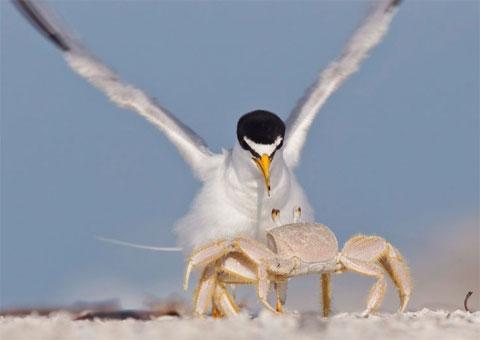 Cua dọa nhạn trên bãi biển tại thành phố Myers, bang Florida, Mỹ.