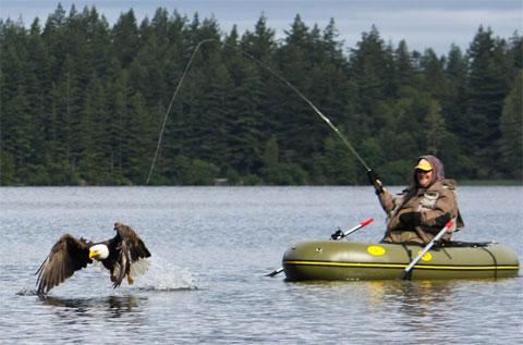 Đại bàng hói cố gắng cướp con cá của một người đàn ông trên hồ Padden, bang Washington, Mỹ.