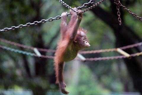 Đười ươi 5 tháng tuổi chơi trong vườn thú Ragunna, thành phố Jakarta, Indonesia.