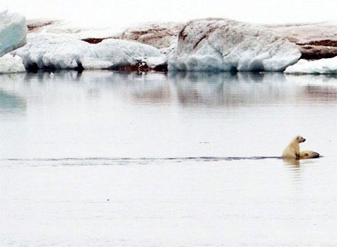 Gấu trắng con cưỡi lưng mẹ khi chúng bơi gần quần đảo Svalbard của Na Uy. Vùng nước này thuộc Bắc Cực.