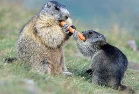 Hai con macmôt cùng ăn củ cà rốt trên núi Grossglockner, quả núi cao nhất tại Áo và thuộc dãy Alps.
