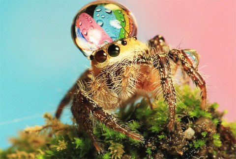 Giọt nước mưa trên đầu một con nhện nhảy trong một vườn của người dân trên đảo Batam, Indonesia.
