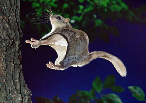 Sóc bay chuẩn bị bám vào một thân cây tại thành phố Guildford, hạt Surrey, Anh.