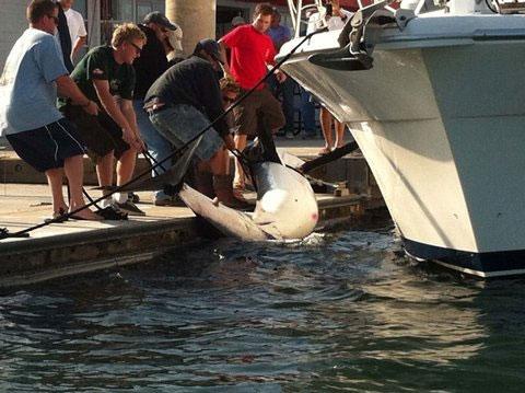 Bắt được cá mập lưng xám nặng 350kg