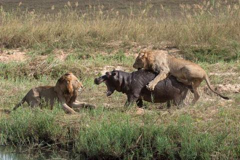 Hà mã huyết chiến với bầy sư tử