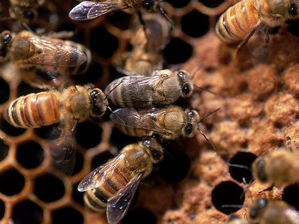 Chất defensin-1 có trong mật có tác dụng diệt vi khuẩn rất hiệu quả.