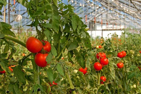 """Cà chua """"sạch"""" bảo vệ sức khỏe rất tốt"""