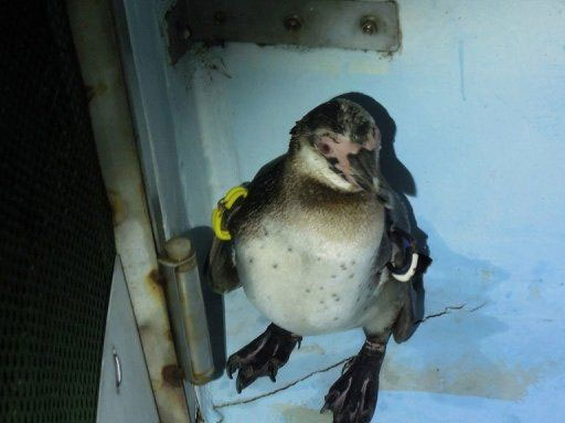 Chim cánh cụt chạy trốn ở Nhật Bản có tên mới