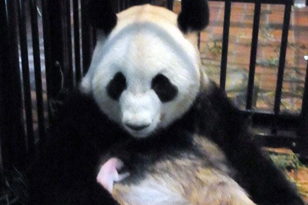 Chú gấu trúc mới sinh ở vườn thú Tokyo qua đời