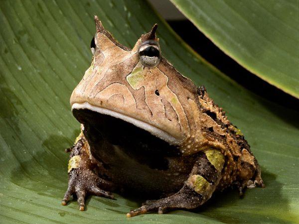 """Hình ảnh """"oai như cóc"""" của ếch sừng Amazon"""