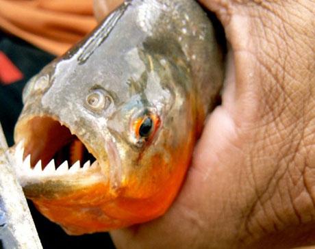 Một con cá hổ với hàm răng như lưỡi cưa