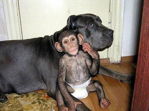 Tình mẫu tử giữa chó và vượn
